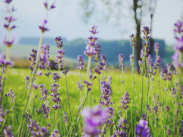 Lavendar Photo by Dorné Marting on Unsplash